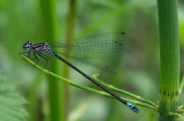Image of Variable Bluet