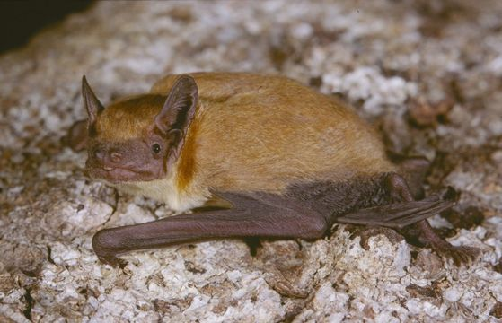 Image of Dark-winged Lesser House Bat