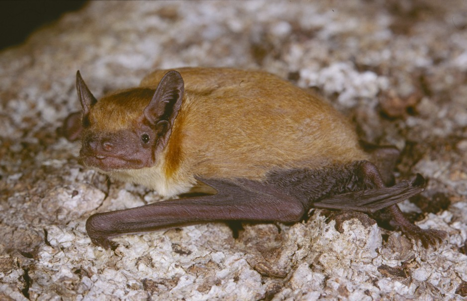 Image of Dark-winged Lesser House Bat