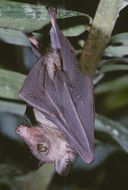 Image of Western Woermann's Fruit Bat