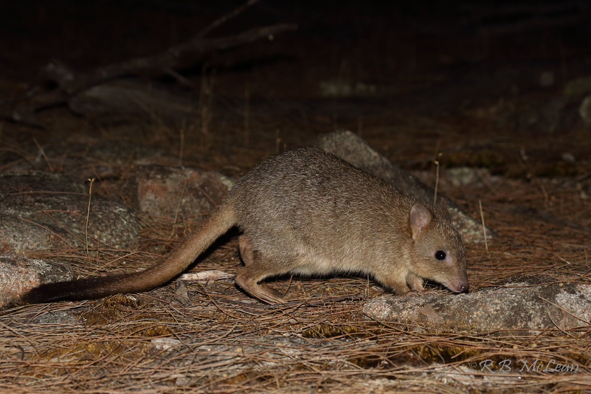 Image of Brush-tailed Bettong