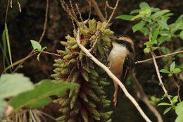 Image of Thorn-tailed Rayadito
