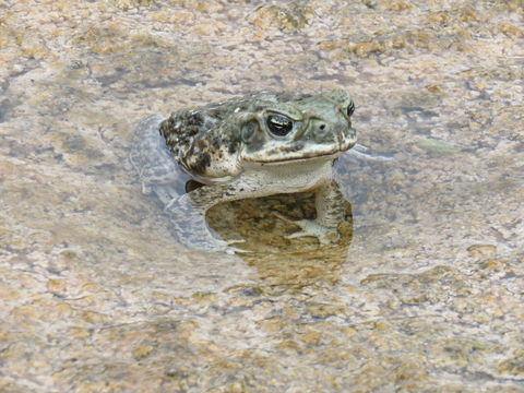 Image of Cane Toad
