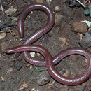 Image of New Mexico Blind Snake