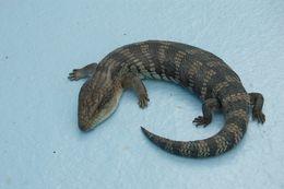 Image of Australian blue-tongued lizard