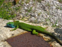 Image of <i>Lacerta viridis</i>