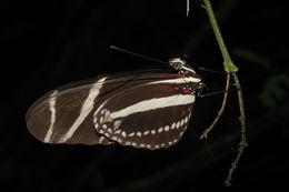 Image of <i>Heliconius charithonia vazquezae</i> Comstock & Brown 1950