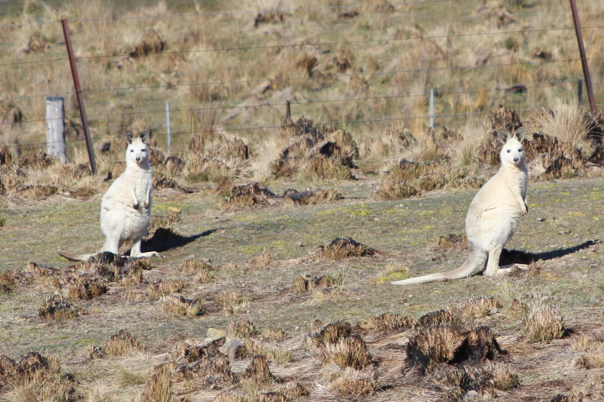 Image of Eastern Gray Kangaroo