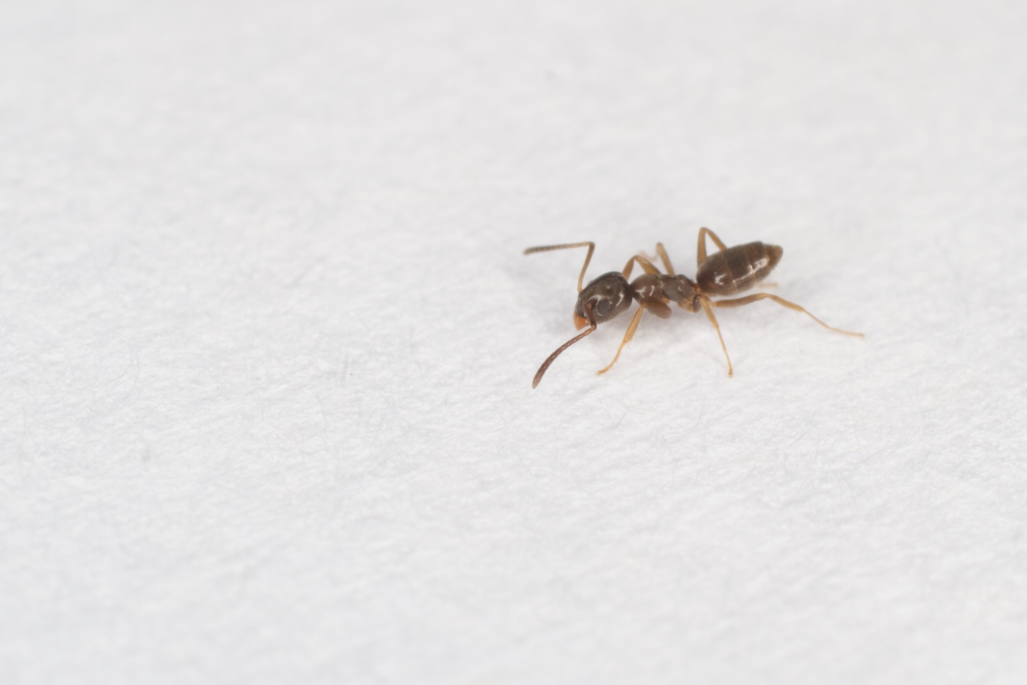 Image of Odorous House Ant