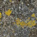 Image of <i>Dufourea ligulata</i>
