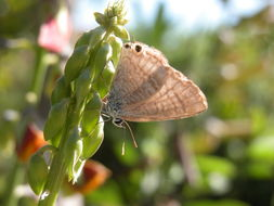 Image of Long-tailed Blue