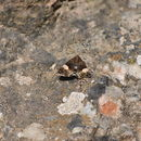 Image of Four-spotted moth