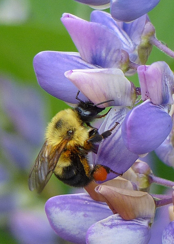 Image of Two-spotted Bumblebee