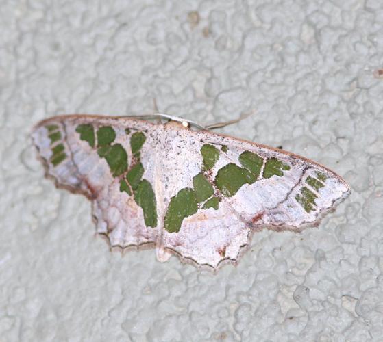 Image of <i>Antitrygodes divisaria</i> Walker 1861