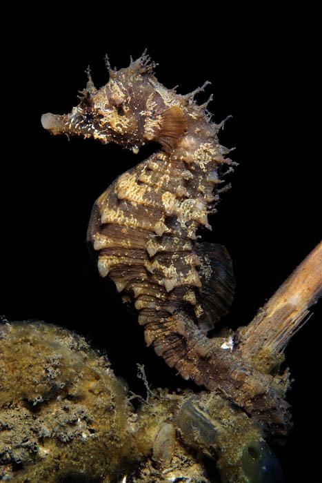 Image of Sea Horse
