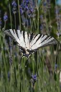 Image of Scarce Swallowtail