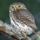 Image of Mountain Pygmy Owl