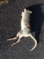 Image of Rufous Rat-kangaroo