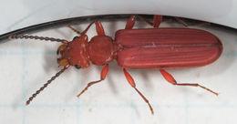 Image of Red Flat Bark Beetle