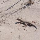 Image of Yuman Desert Fringe-toed Lizard