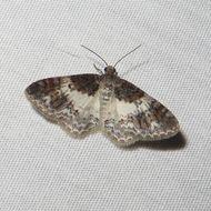 Image of White-ribboned Carpet