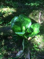 Image of <i>Lysichiton americanus</i>