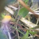 Image of <i>Ranunculus cymbalaria</i>