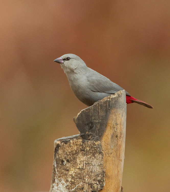 Image of Lavender Waxbill