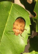 Image of Clown shield bug