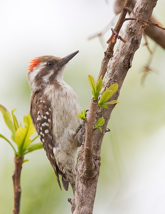 Image of Brown-backed Woodpecker