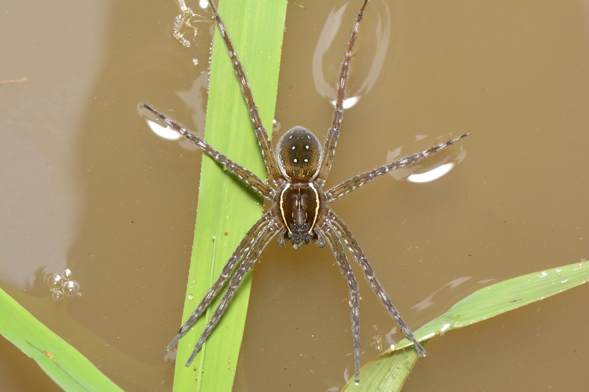 Image of Six-spotted Fishing Spider