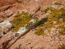 Image of Carbonell's Wall Lizard