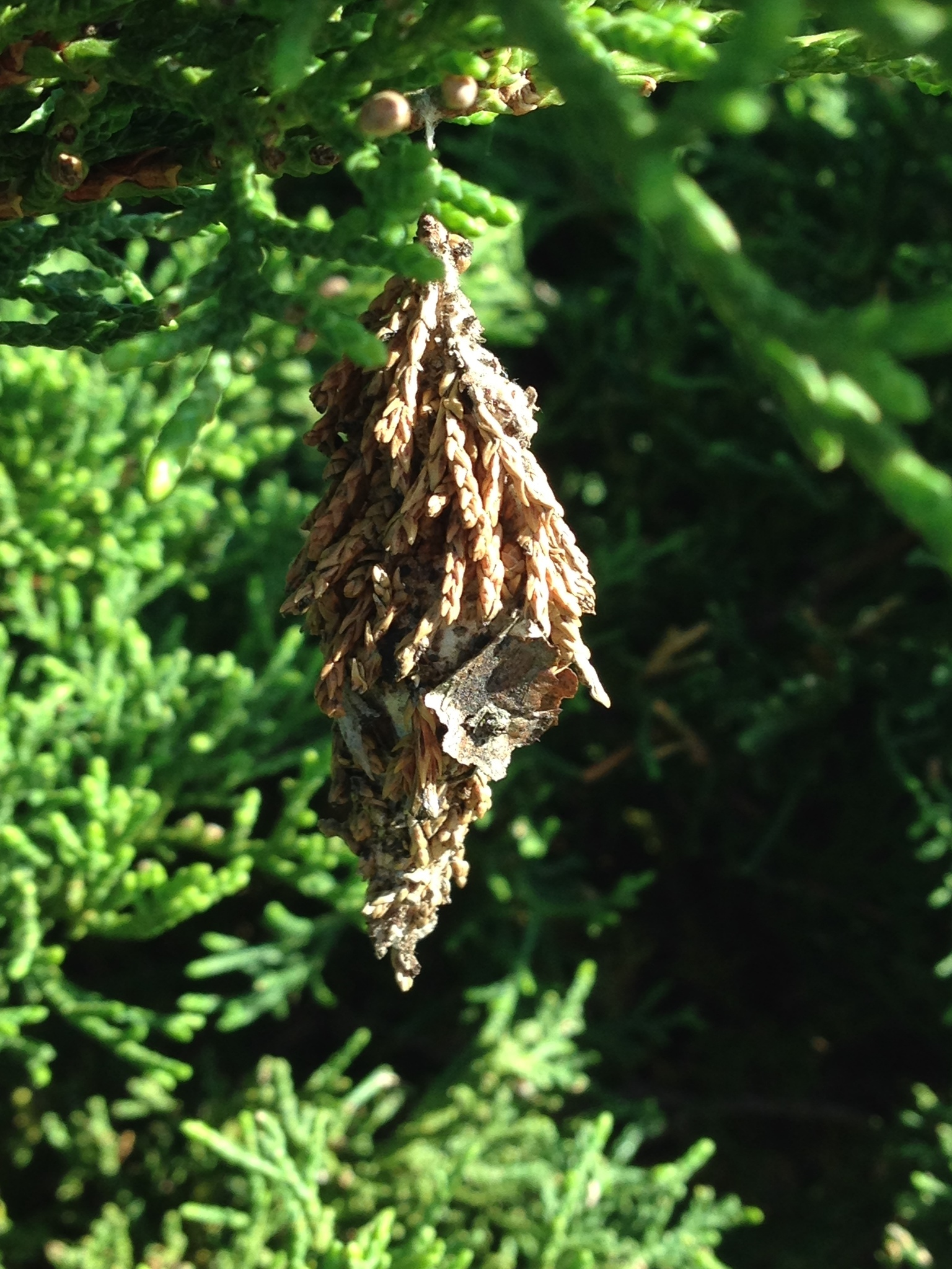 Image of Evergreen Bagworm Moth