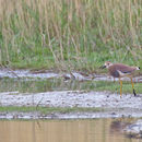 Image of White-tailed Lapwing