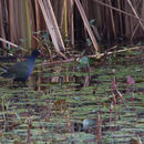 Image of Allen's gallinule