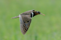 Image of Greater Painted Snipe