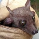 Image of Bergmans's Collared Fruit Bat