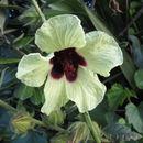 Image of <i>Hibiscus <i>diversifolius</i></i> diversifolius