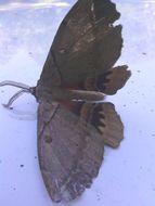 Image of <i>Chelepteryx chalepteryx</i> (Felder & R. 1874)
