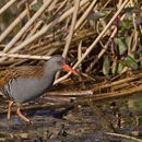 Image of Water rail