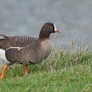Image of Lesser white-fronted goose