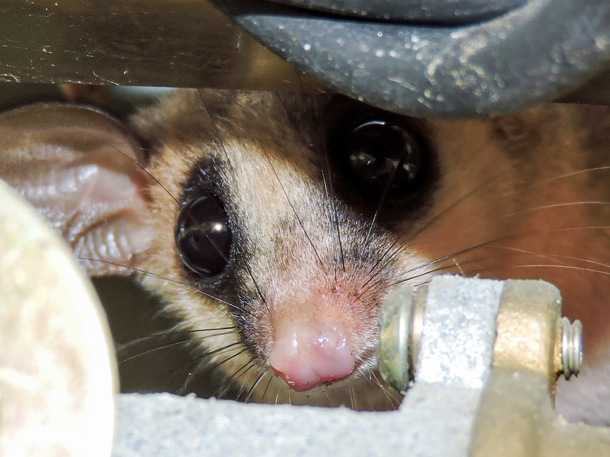 Image of Gray Mouse Opossum