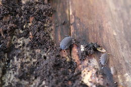 Image of Common rough woodlouse