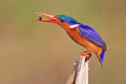 Image of Malachite Kingfisher