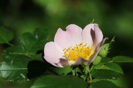 Image of <i>Rosa canina</i>