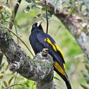 Image of Yellow-rumped Cacique