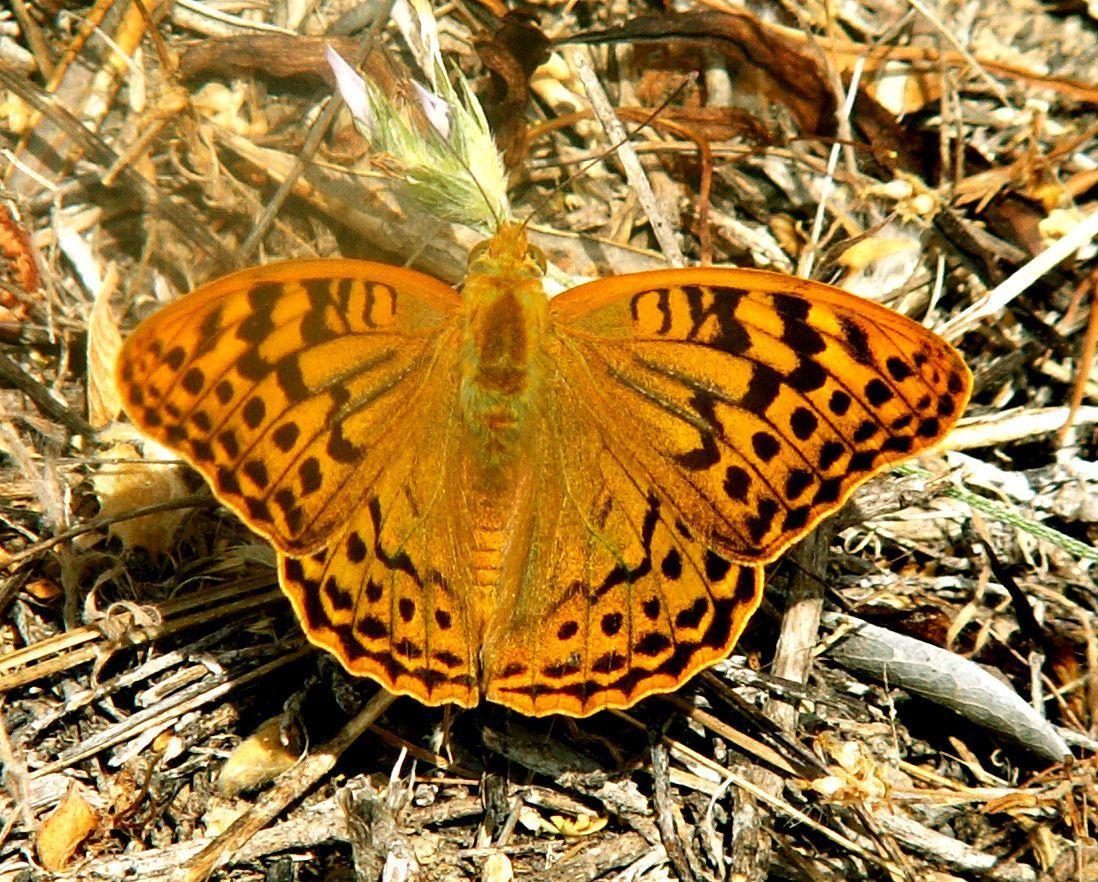 Image of <i>Argynnis pandora</i>