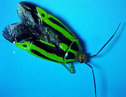 Image of Four-lined Plant Bug