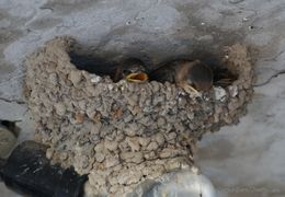 Image of Cave Swallow