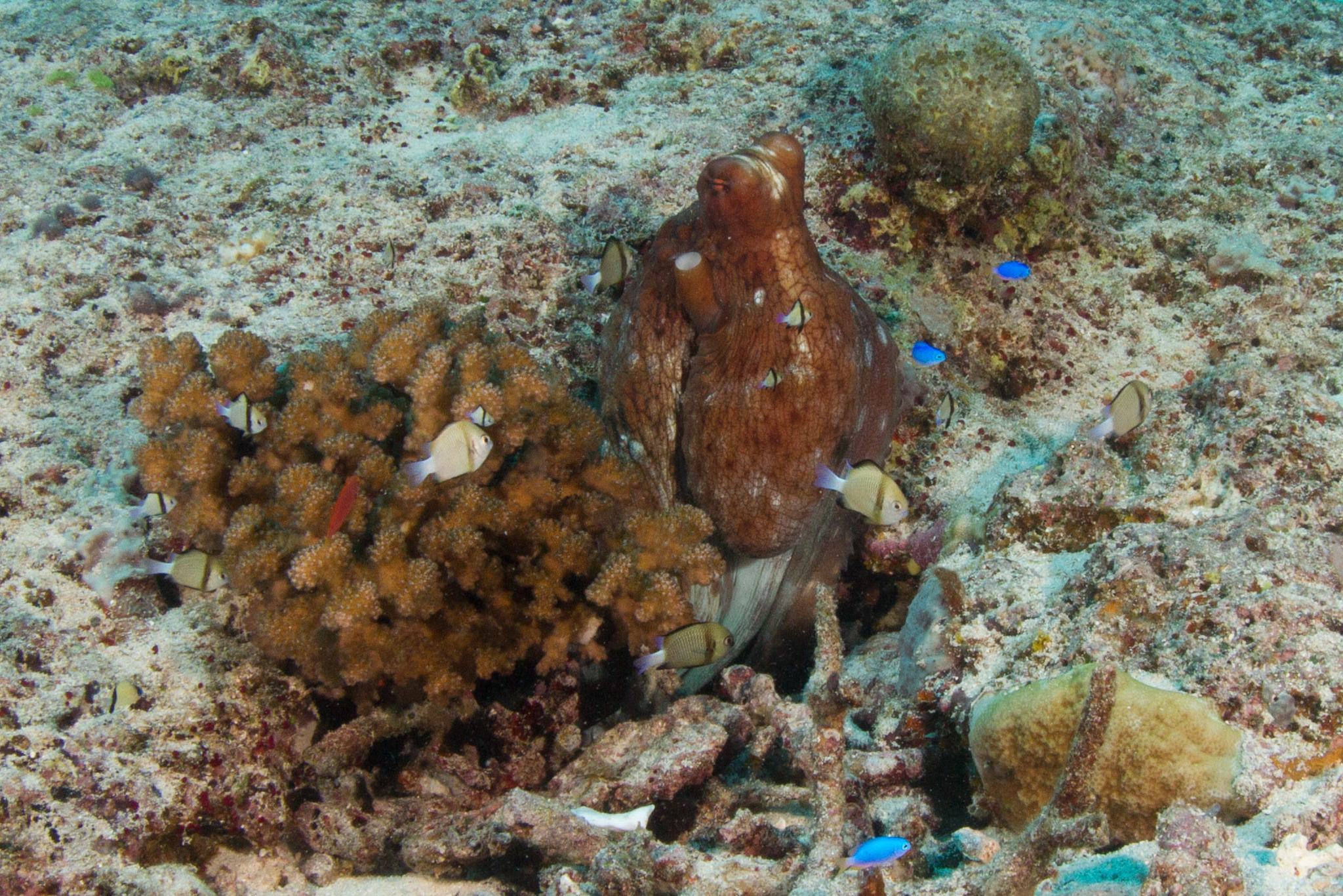 Image of Day octopus